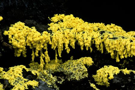 Fuligo Septica Aka Dog Vomit Slime Mold
