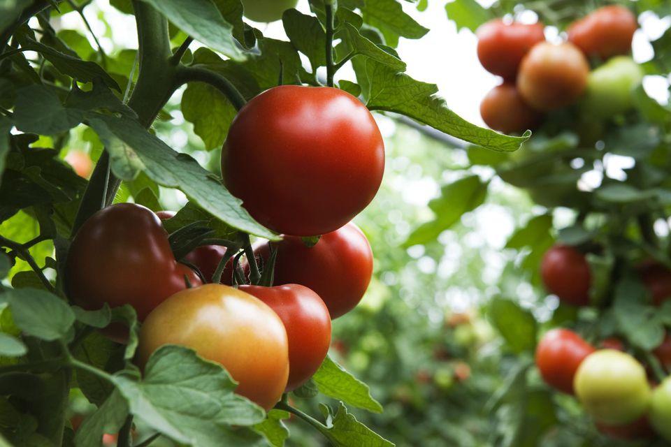 Field of organic tomatoes