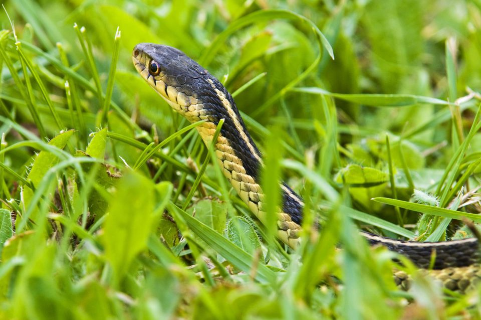 Eastern garter snake (Thamnophis sirtalis) in lawn grass. Lively, Ontario, Canada.