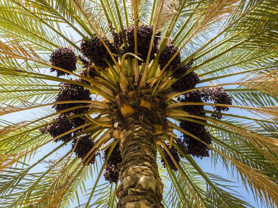 Crown of a date palm (Phoenix dactylifera) tree
