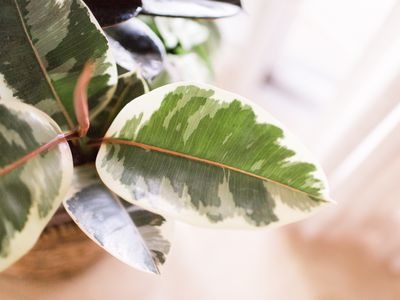 Variegated rubber tree (Ficus elastica) in a basket against a pale background/
