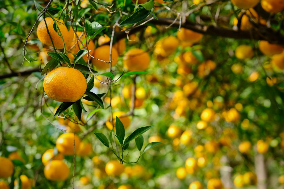 Close-Up Of Orange Tree