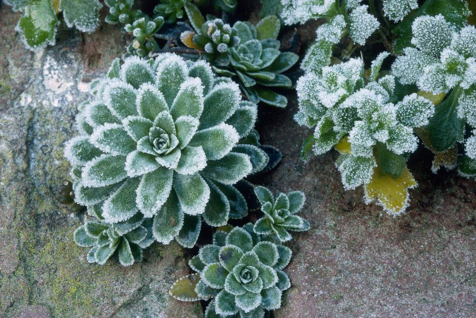 Frost covered common houseleek