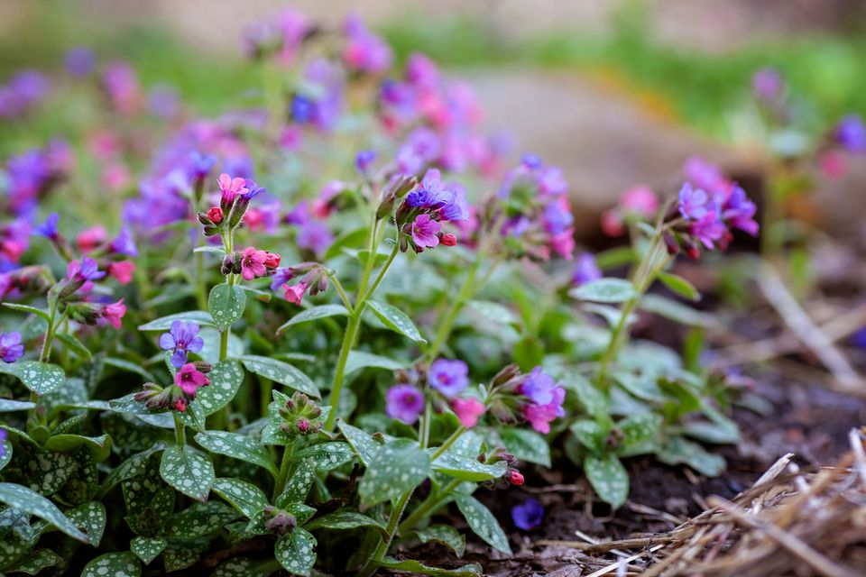 Pulmonaria; Lungwort Plants