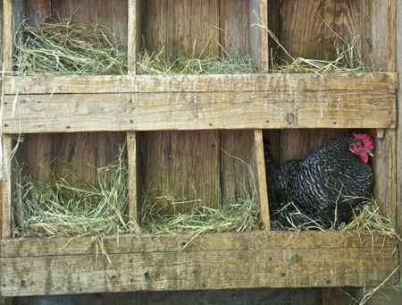 Deep Litter Method to Keep Your Chicken Coop Clean