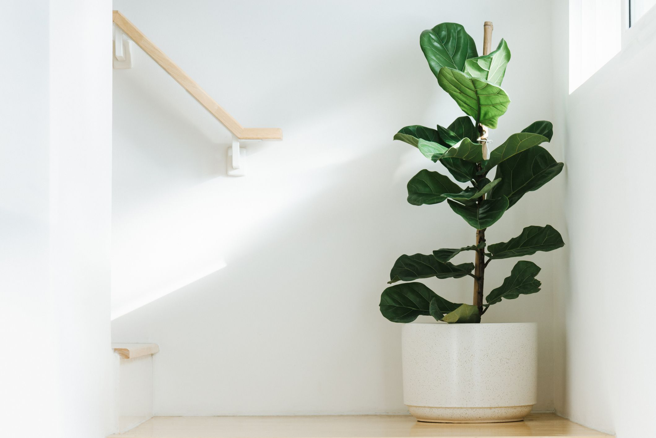 Fiddle leaf fig tree (Ficus lyrata) in white planter with sun coming through the window on the right