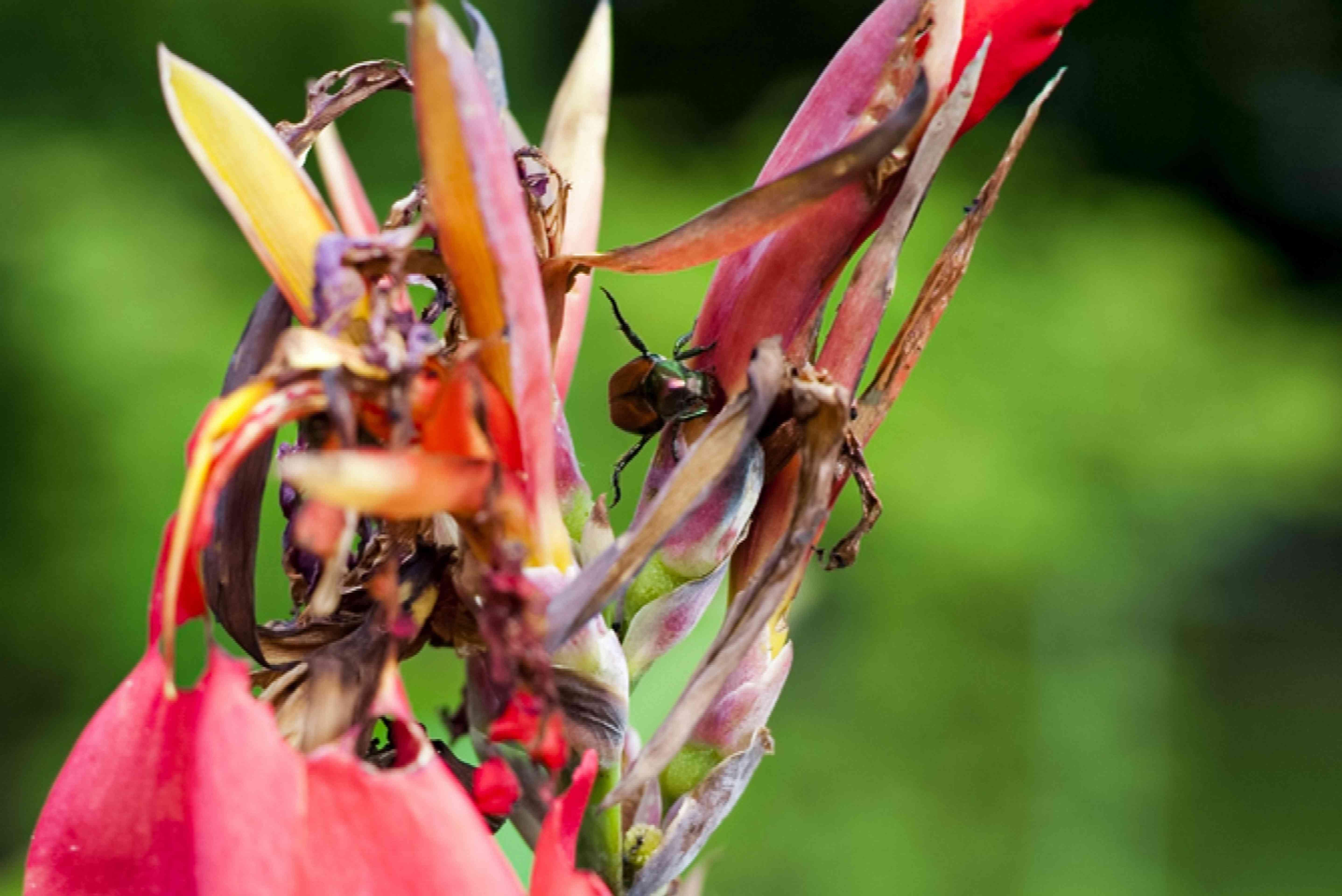 canna lily pest