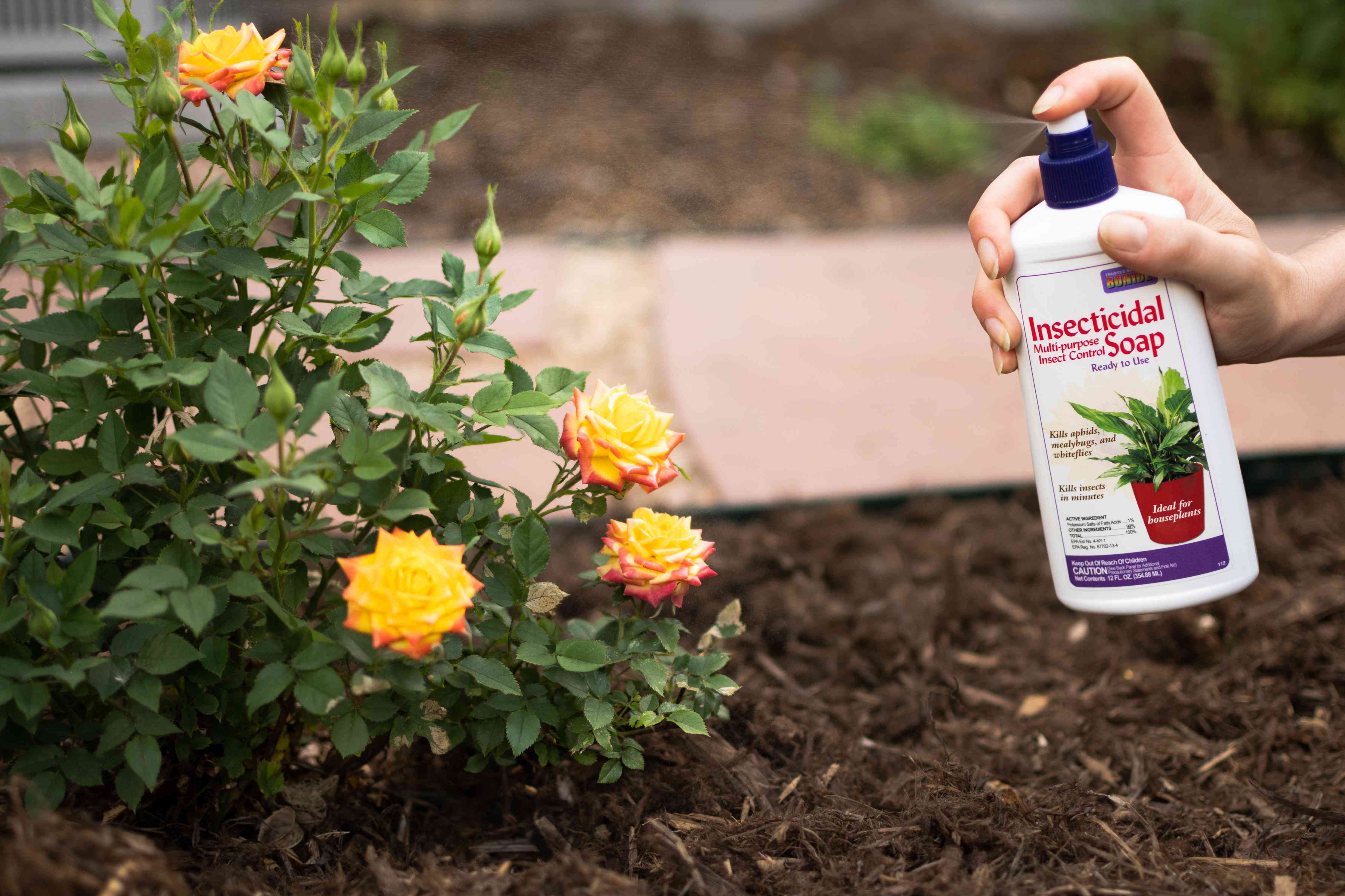 Insecticidal soap sprayed on yellow rose bush to prevent pests