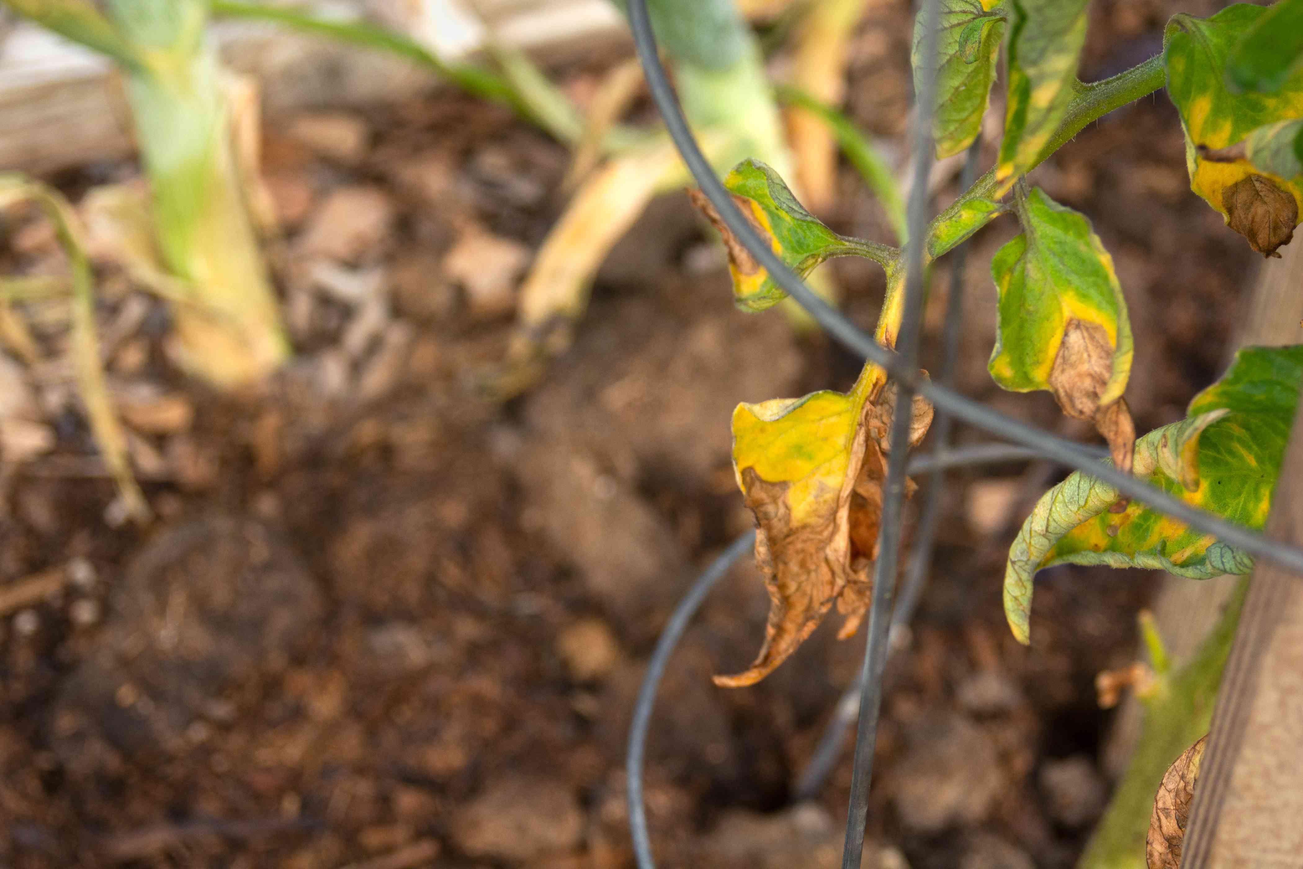 Tomatoe leaves with disease in metal tower