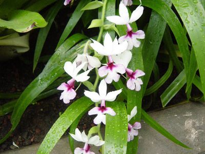 An orchid, healthy in this case