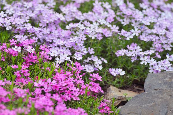 Creeping phlox plants with bright pink and light purple flowers