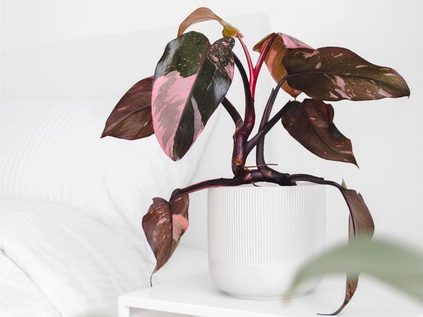 A pink princess philodendron (Philodendron erubescens) in a white pot on a white side table.