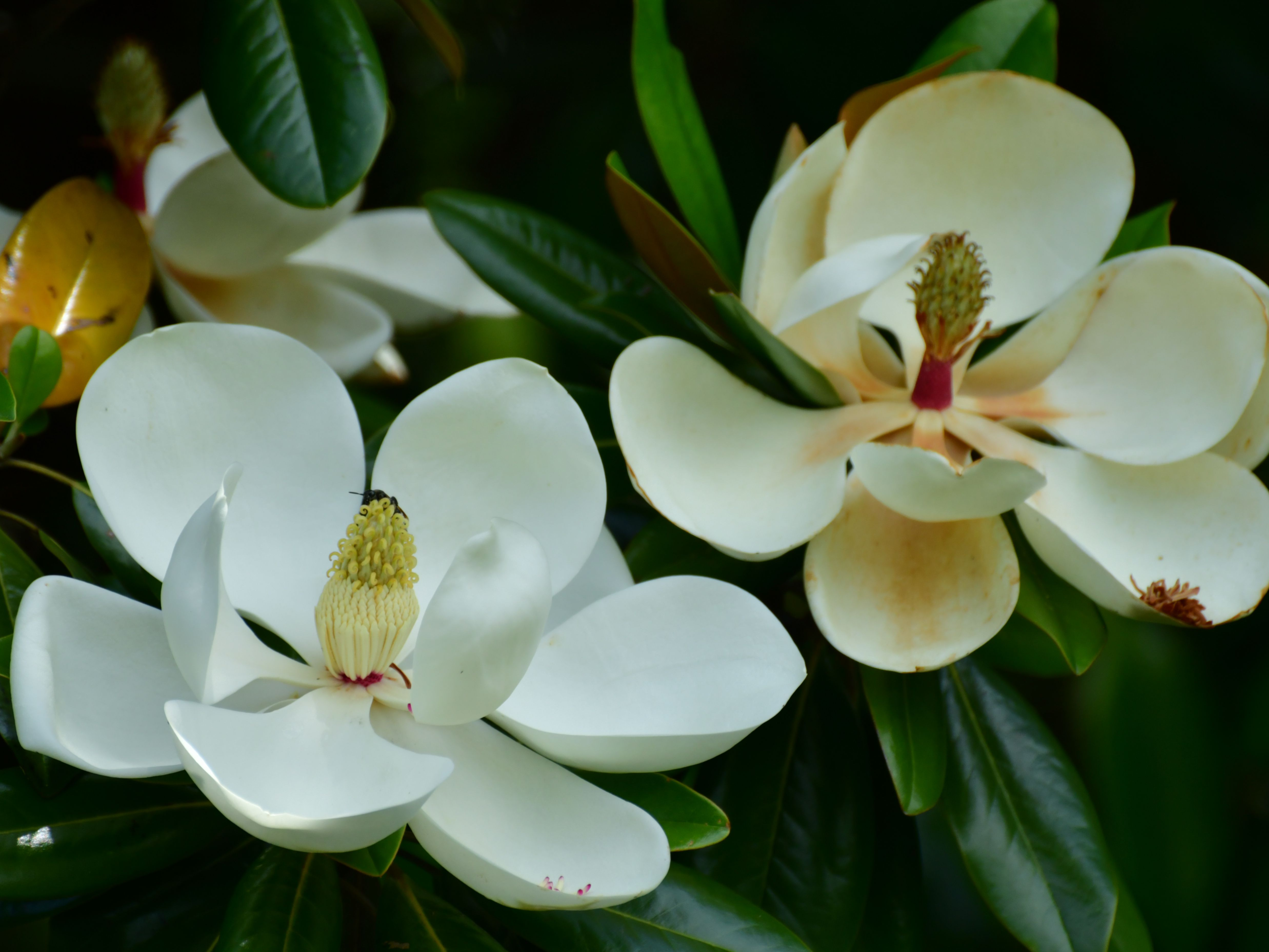 What Causes Southern Magnolia Leaves To Turn Yellow