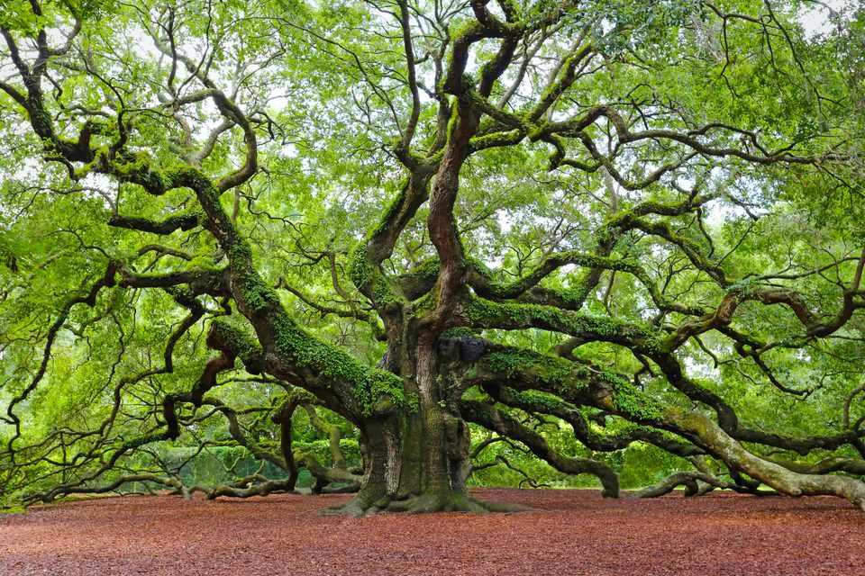 The famous live oak known as the Angel Oak on Johns Island South Carolina.