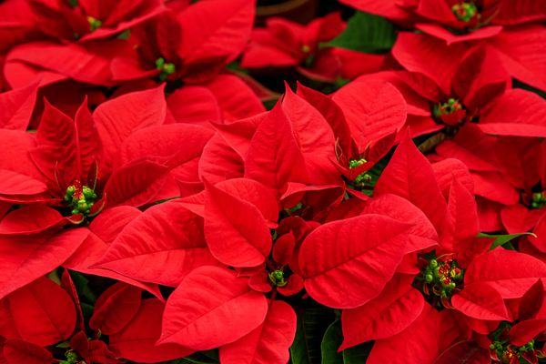 Bunch of Blooming Poinsettia Flower