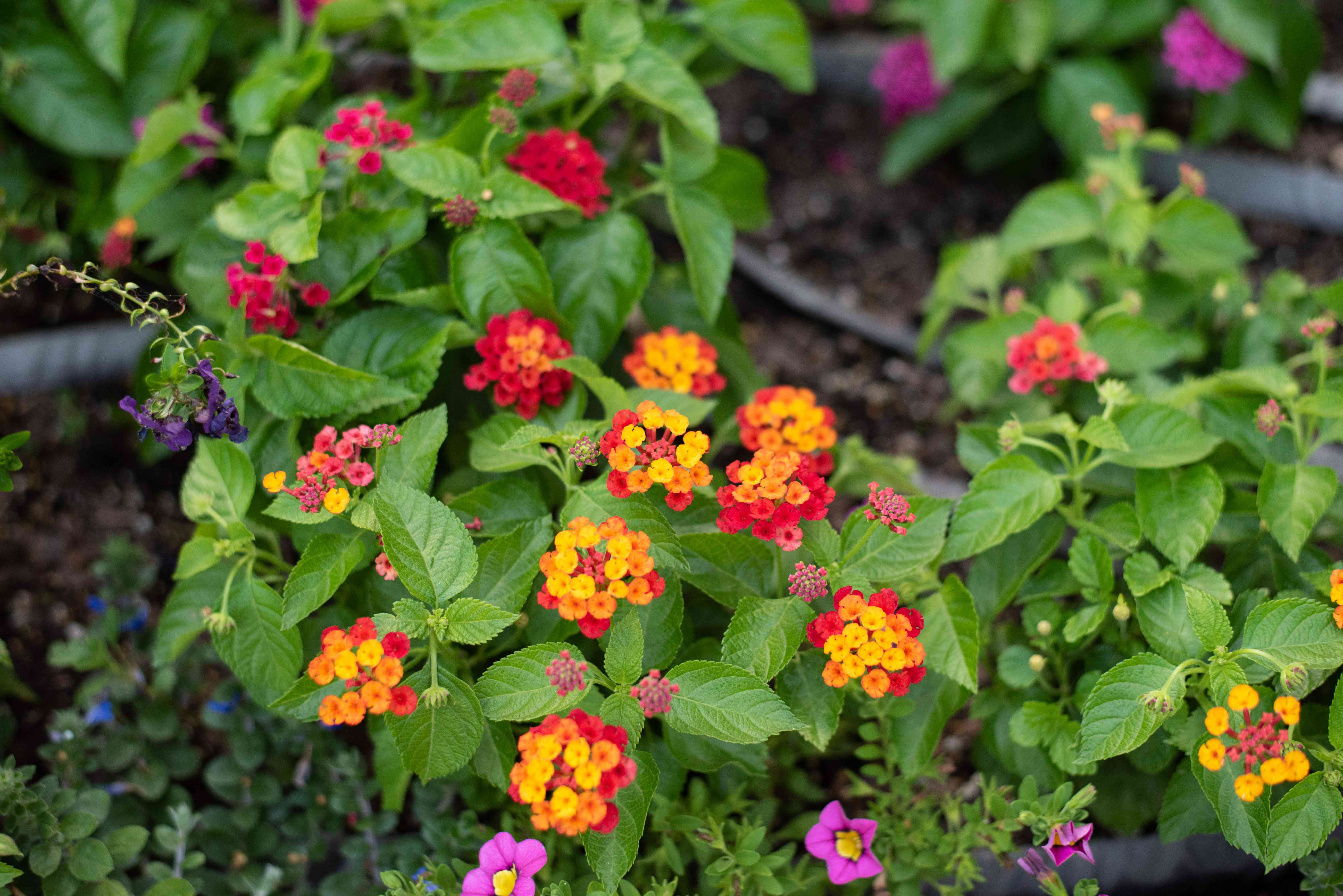 Bloodflower plant with small green leaves and tiny clusters of yellow, orange, and red flowers