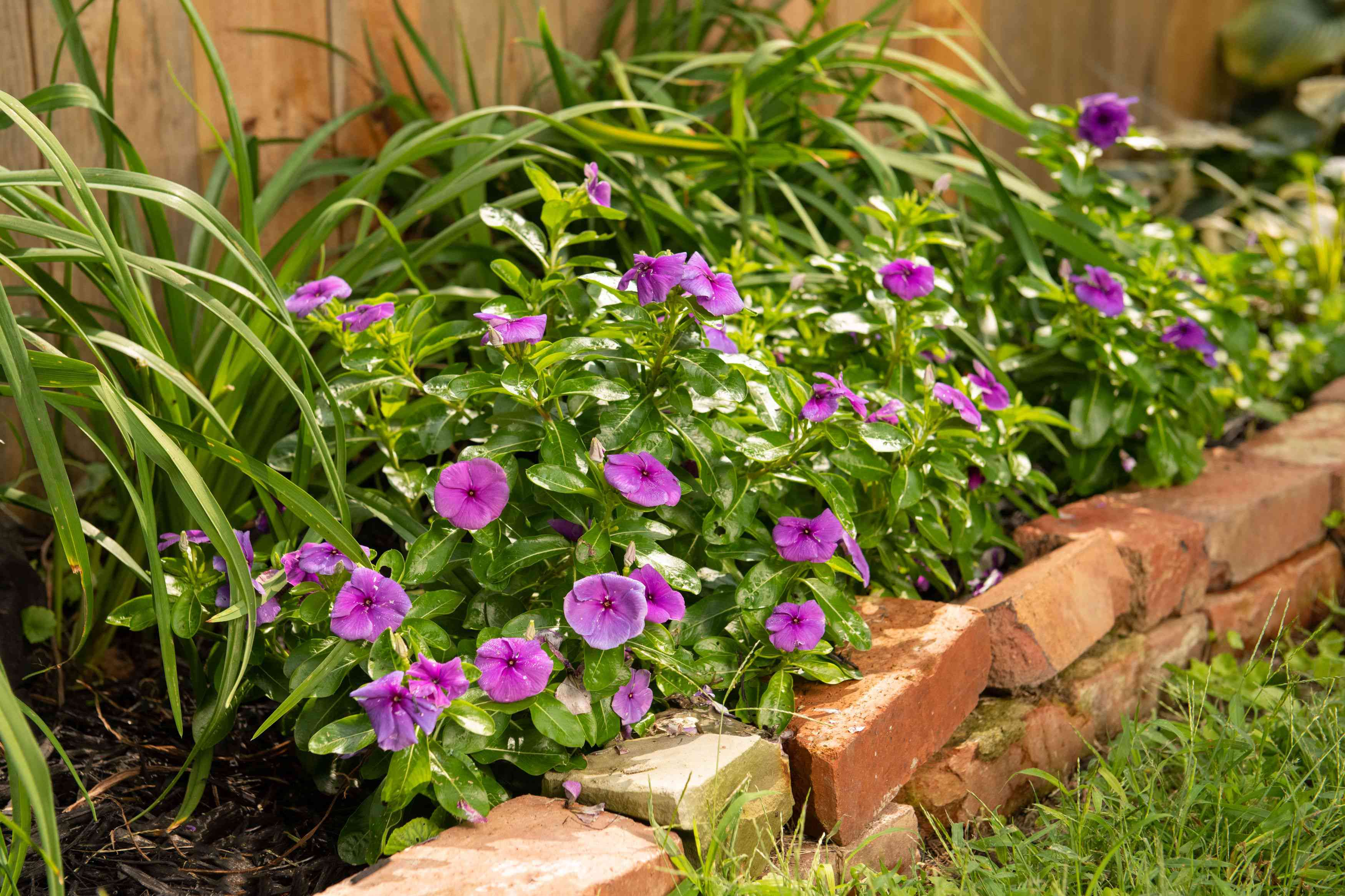 Vinca plant with purple flowers surrounded by dark green and leathery leaves in garden hedge