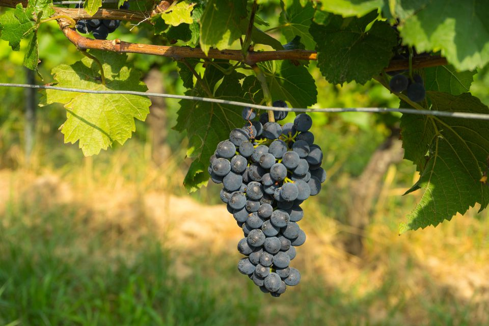 How To Train And Prune Grapevines