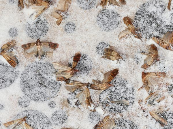 Indianmeal moths on the pheromone bait with powerful adhesive