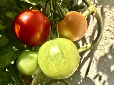 Better Boy tomato plant with ripening fruit