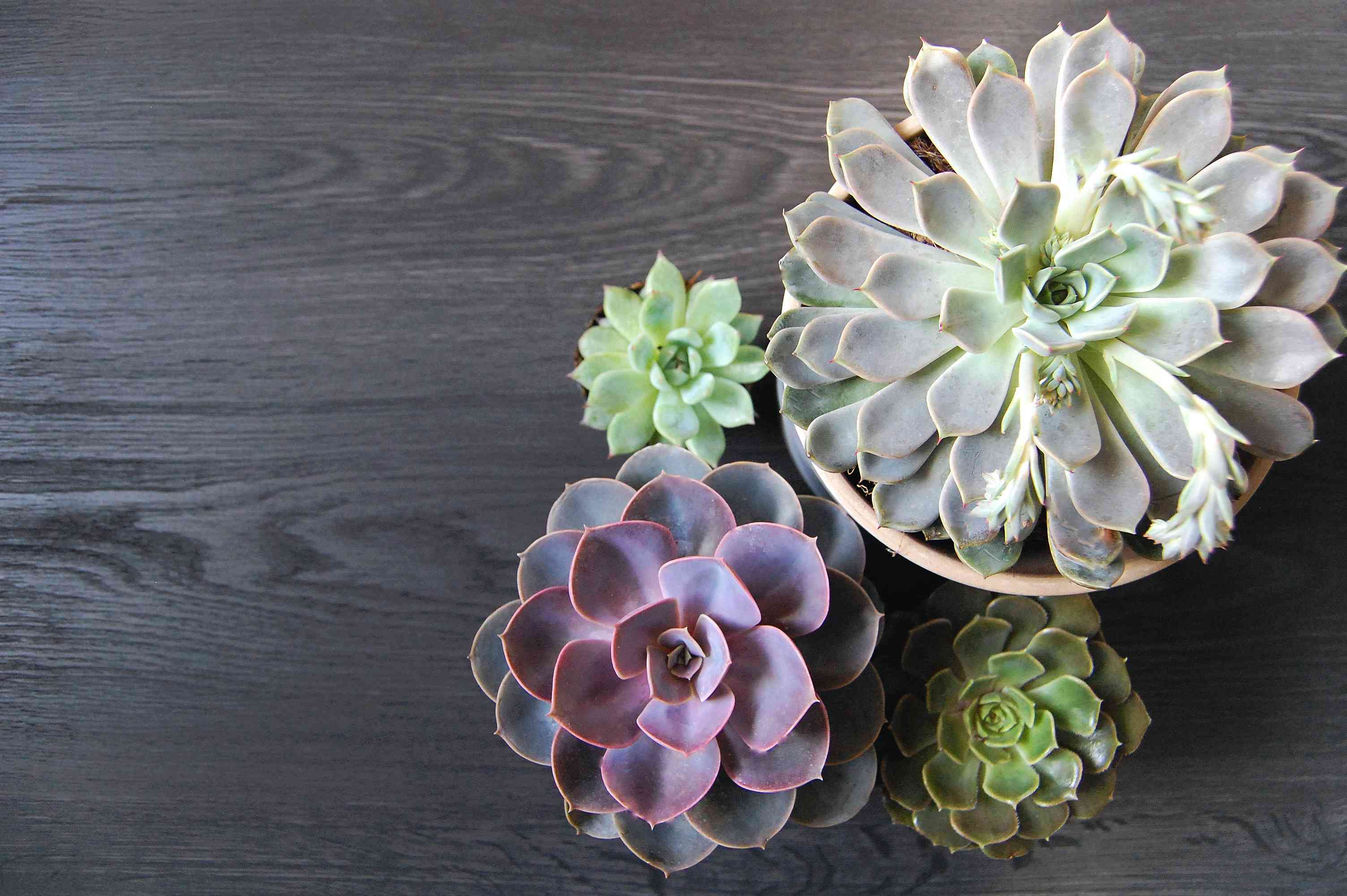 Four Echeveria succulents from an overhead view.