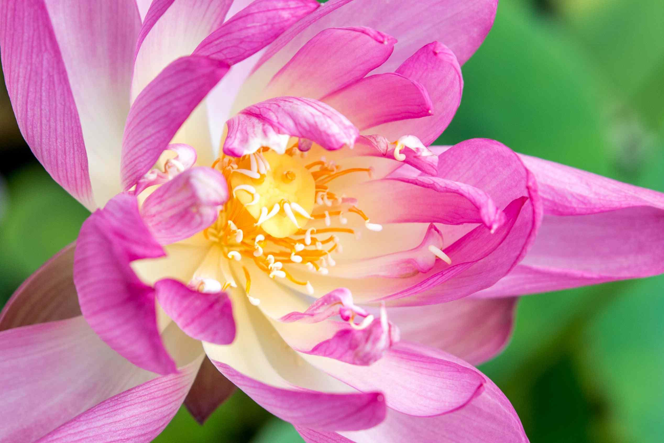 closeup of a lotus