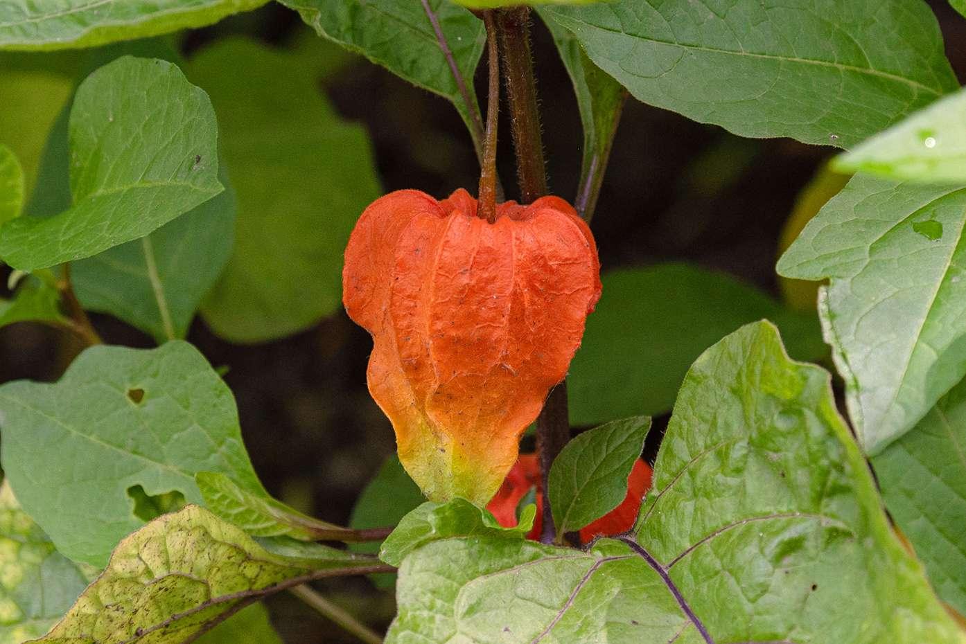 Chinese lantern plant with orange papery seed pod hanging closeup