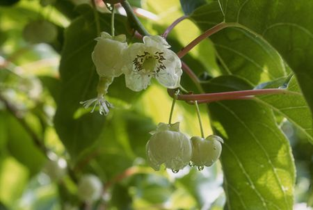 Growing The Hardy Kiwi In The Home Garden
