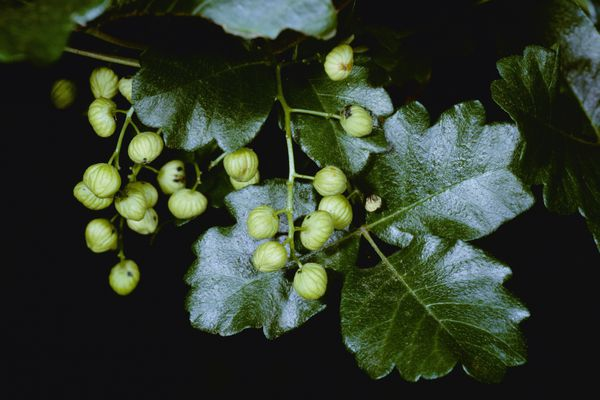 Poison oak with its leaves of 3 and light-colored berries.