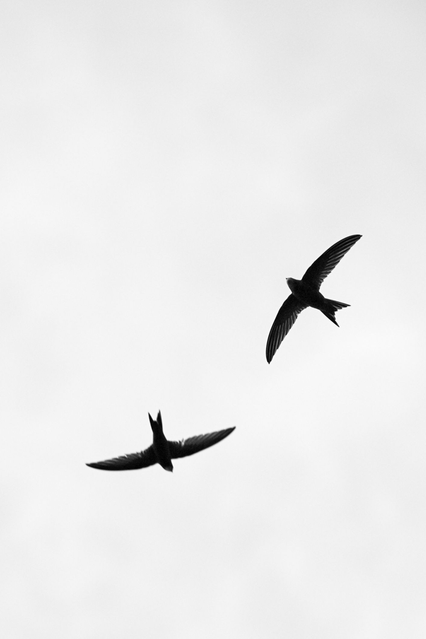 two flying swallows - black & white photograph