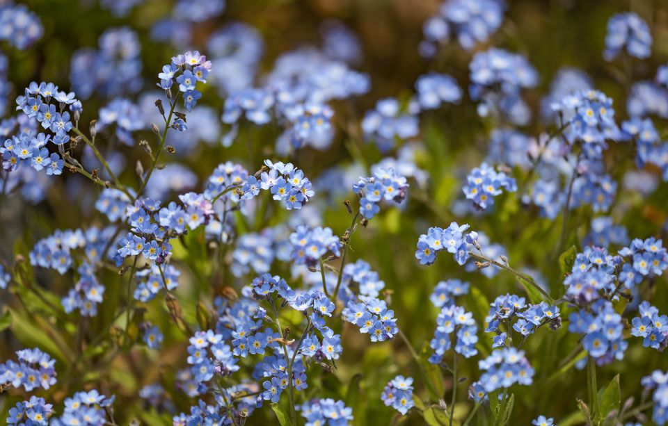 Forget-me-not plants in bloom.
