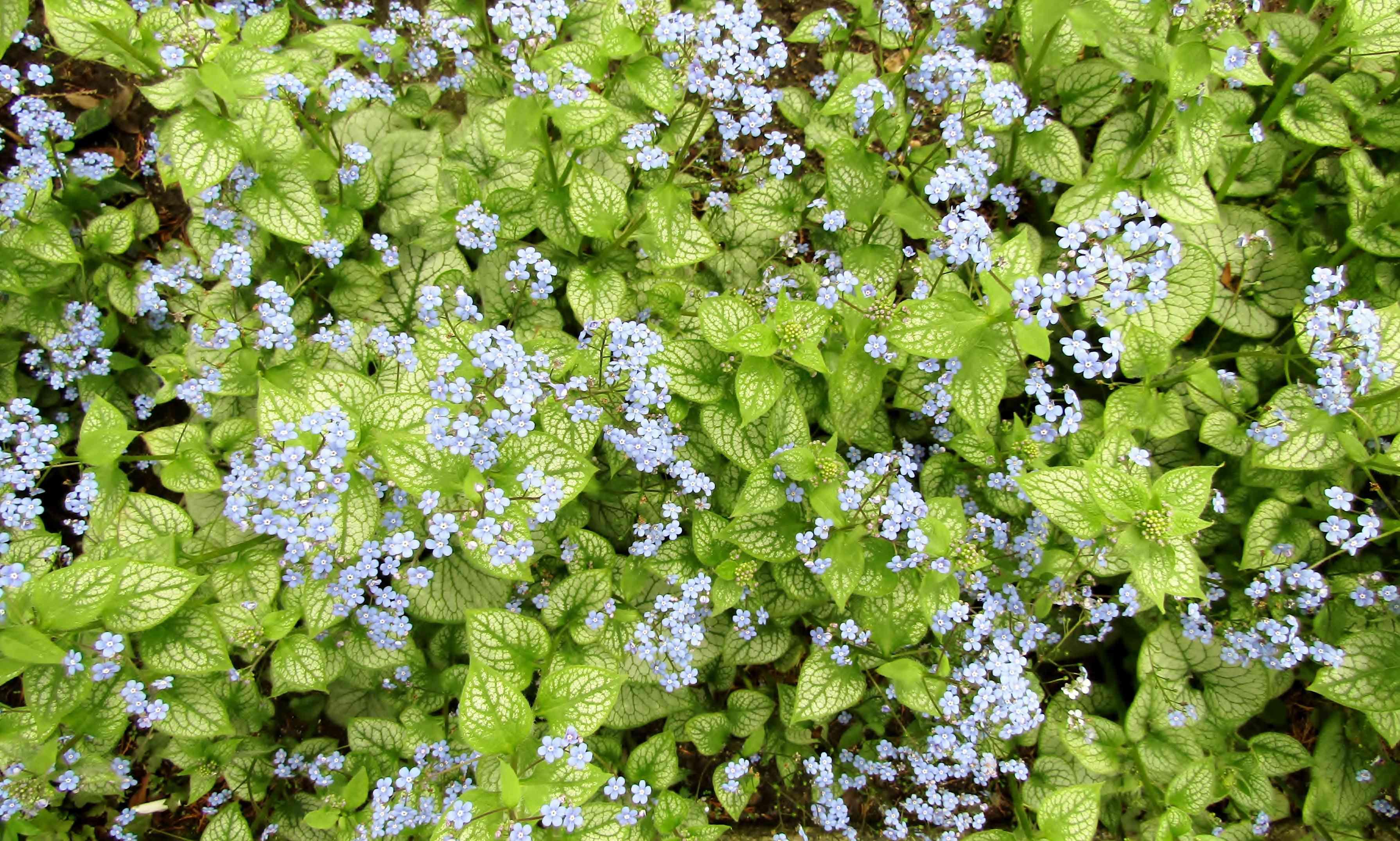 Siberian bugloss or Brunnera macrophylla blue flowers
