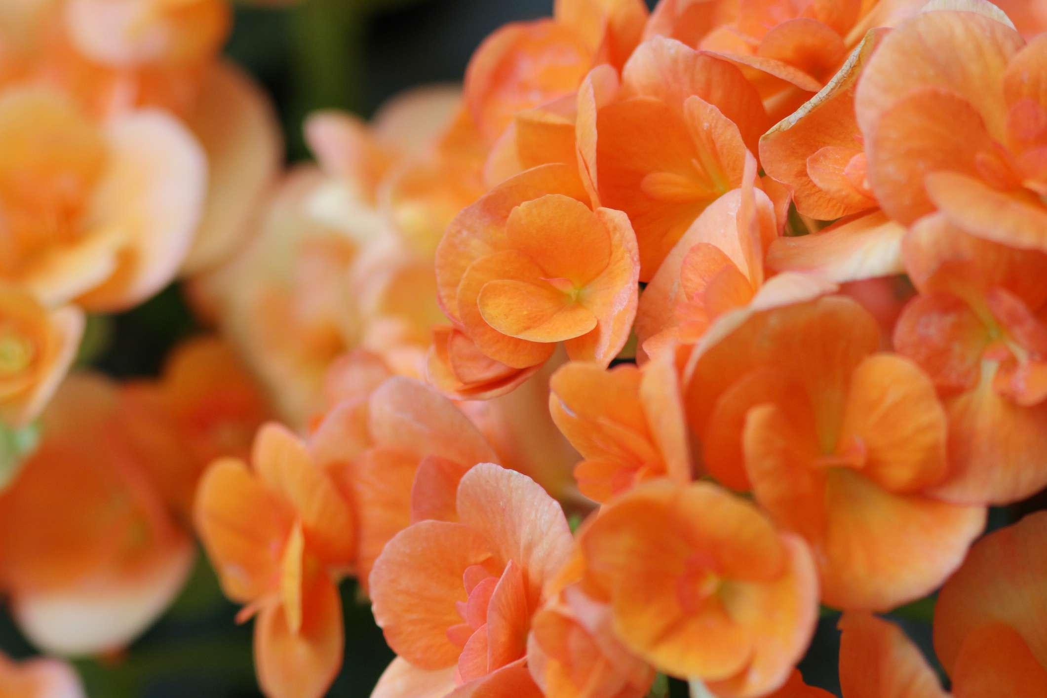 vibrant orange Rieger begonias
