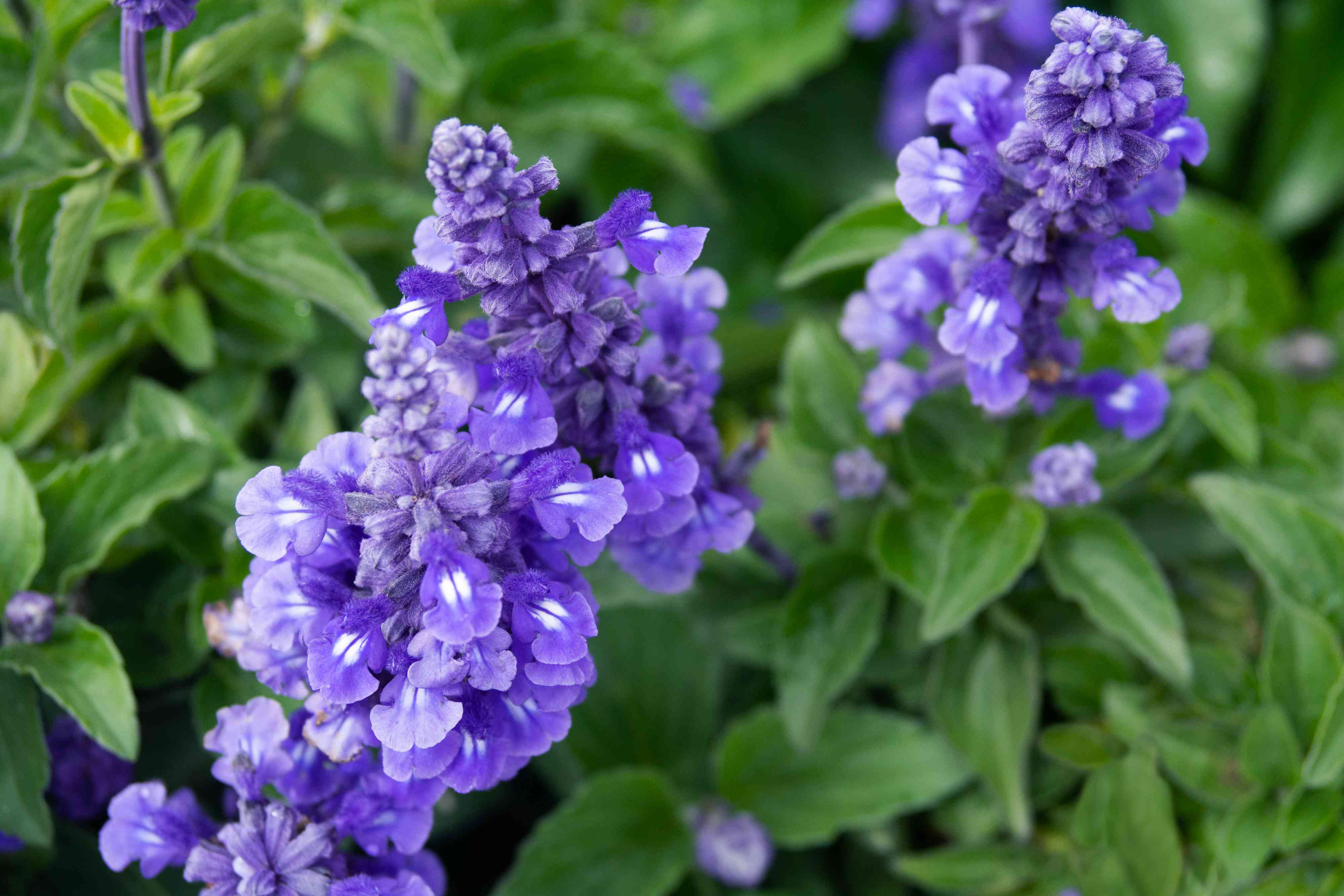 Victoria blue salvia plant with purple flower spikes surrounded by leaves closeup
