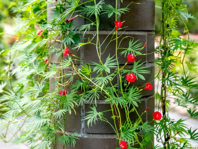 Cardinal climber plant with red trumpet-shaped flowers on vines with palm-like leaves climbing column closeup