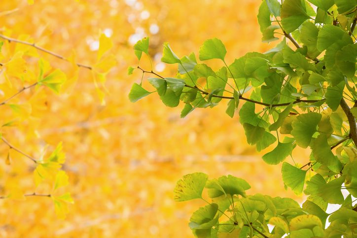 Yellow and green Ginko biloba leaves in autumn