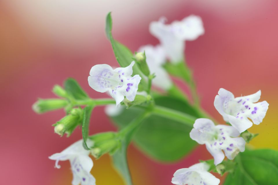 Close up of a blooming Calamint