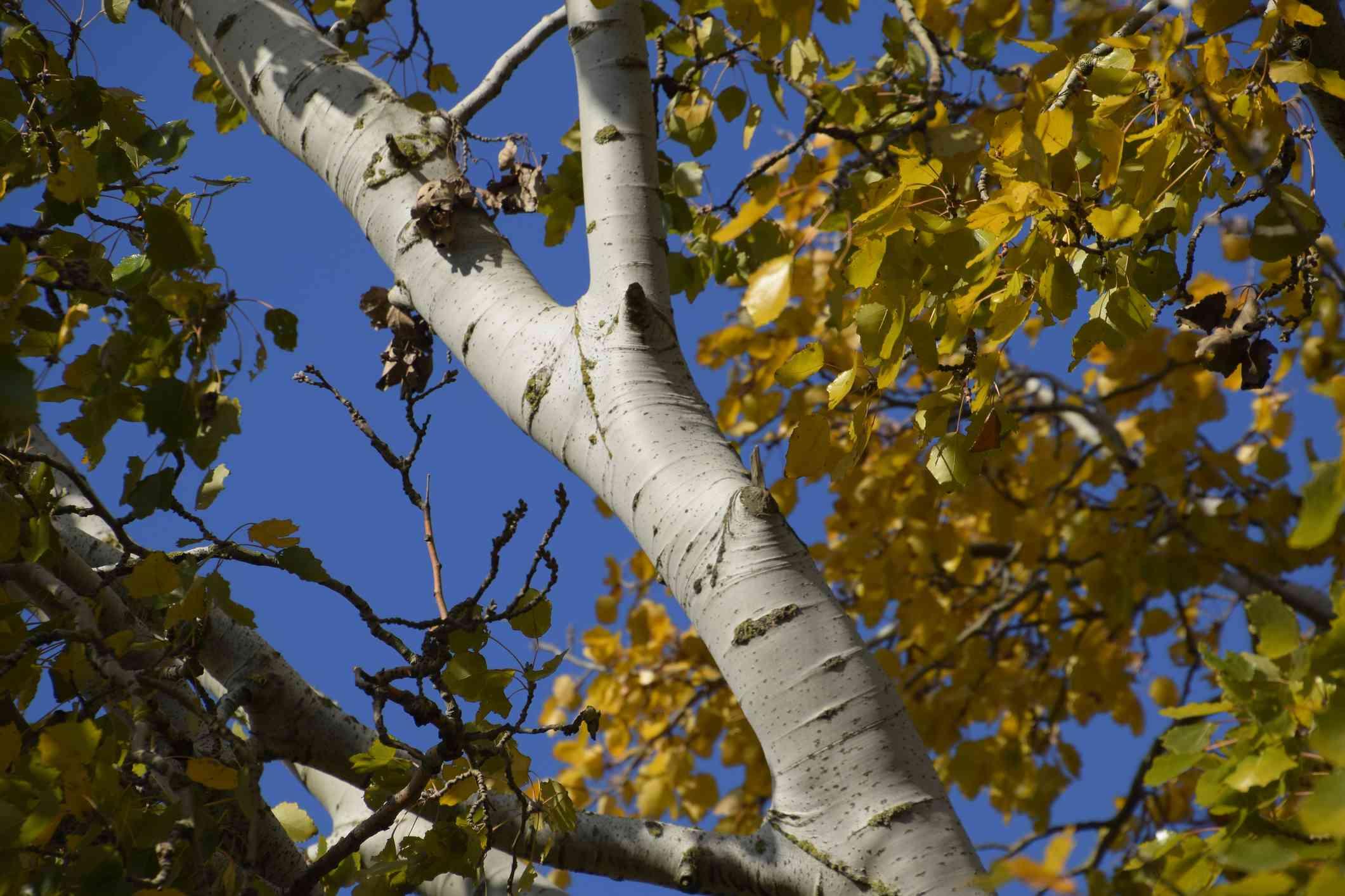 Silver poplar in autumn against the blue sky.