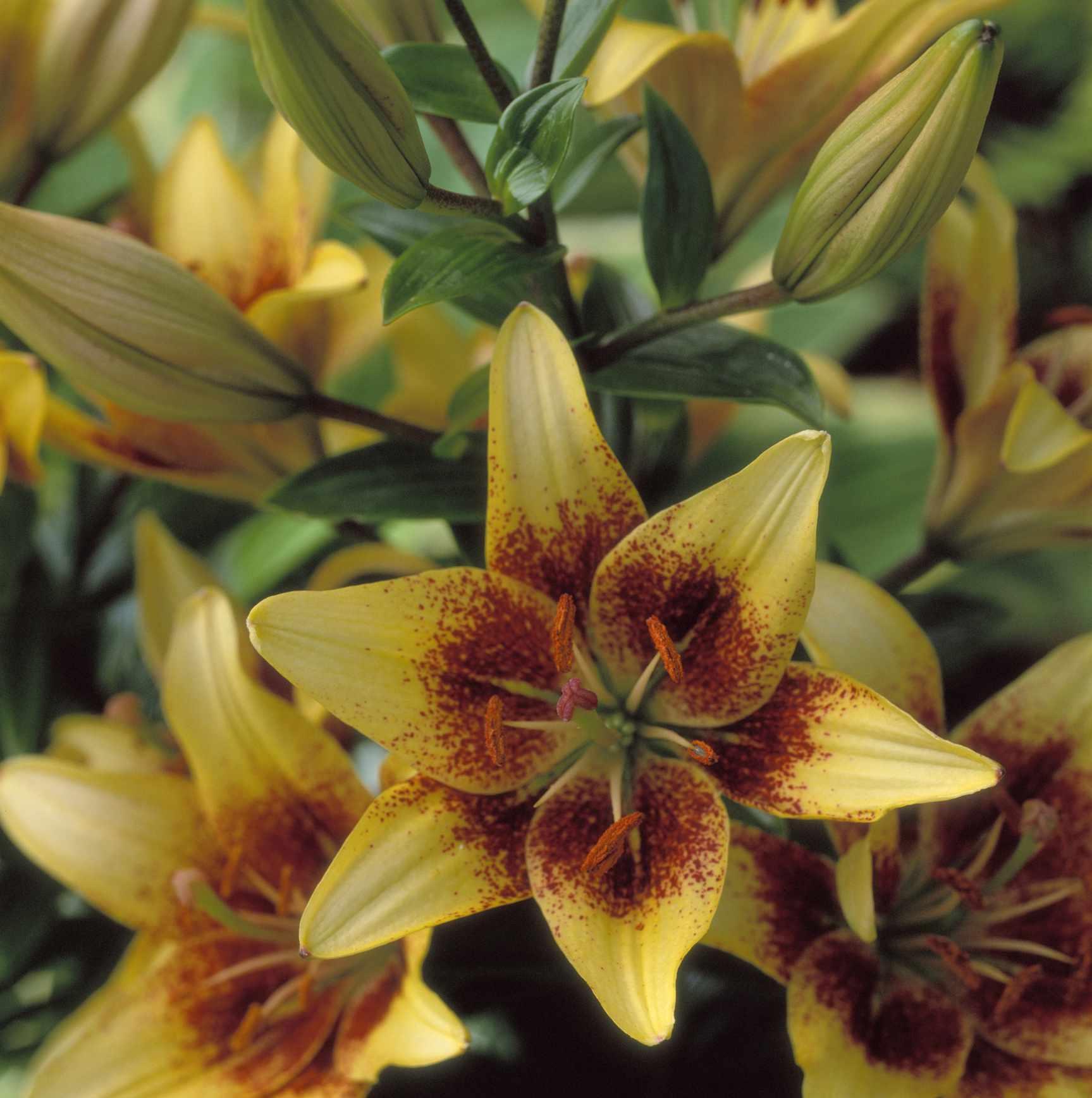 14 stunning lily varieties to plant izmirmasajfo