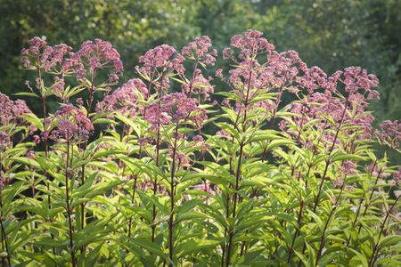 Joe pye weed growing a tall late season bloomer joe pye weed plants mightylinksfo
