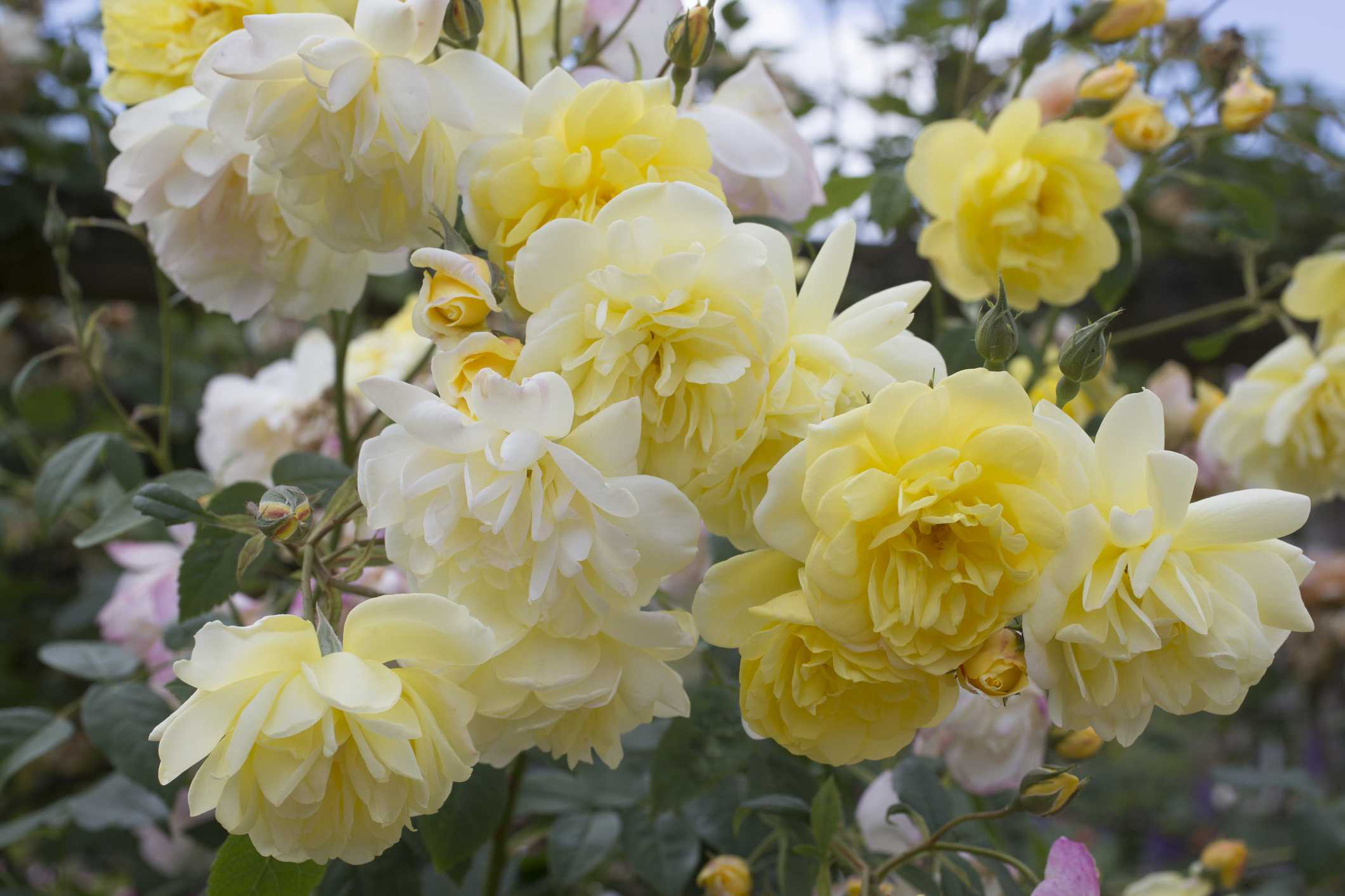 Blythe Spirit Rose
