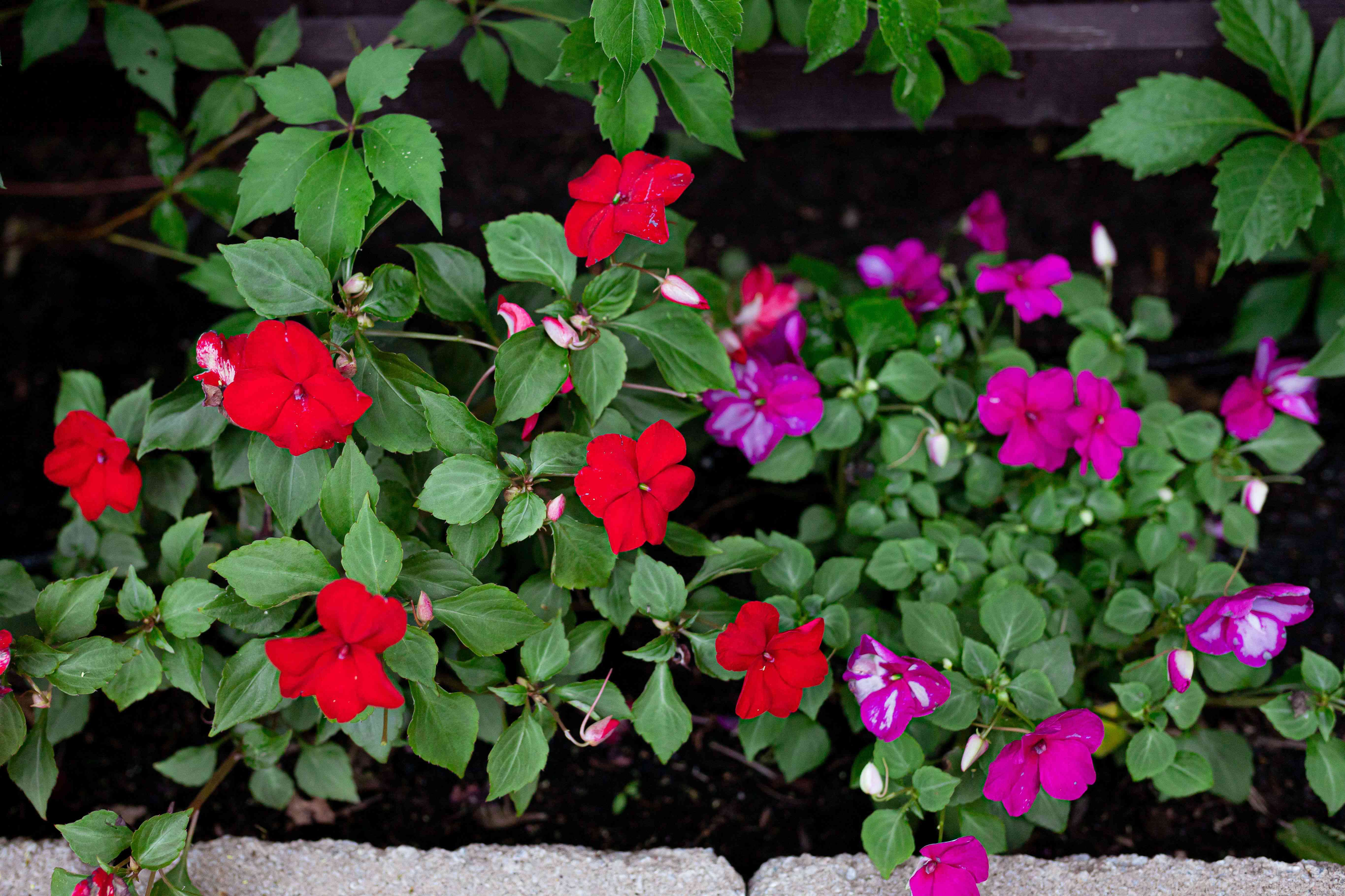 Impatiens plant with bright red and dark pink and white flowers in garden bed