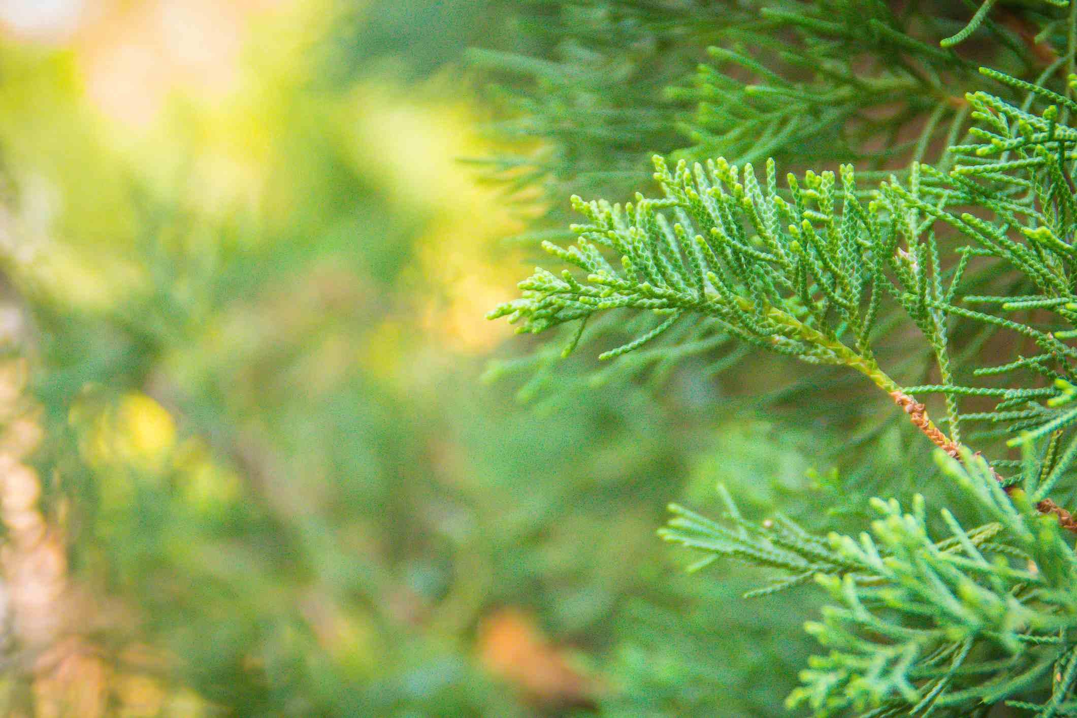 12 Species Of Juniper Trees And Shrubs
