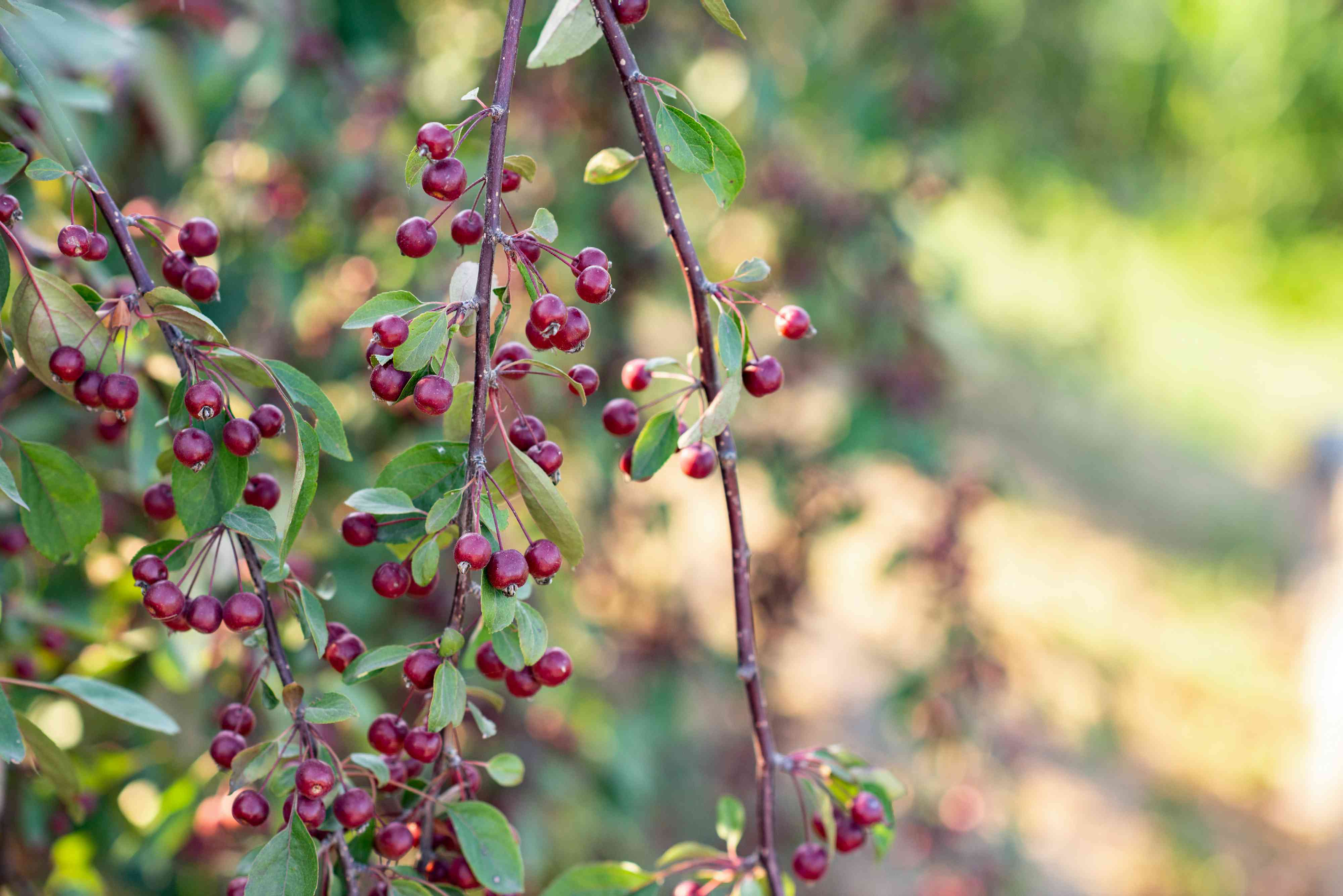 Red chokeberry shrub branch with deep red berries hanging closeup