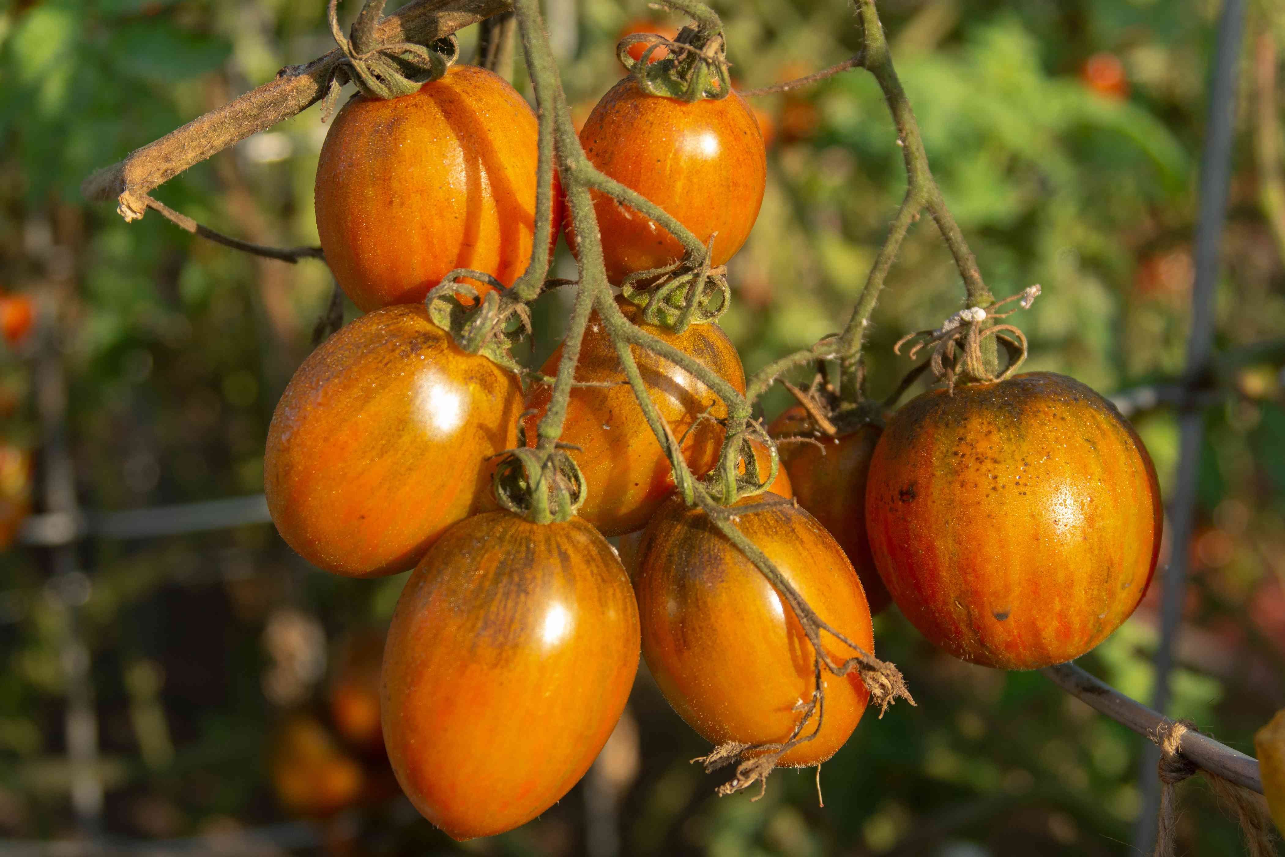 Orange-red tomatoes hanging on vine with bacterial speck