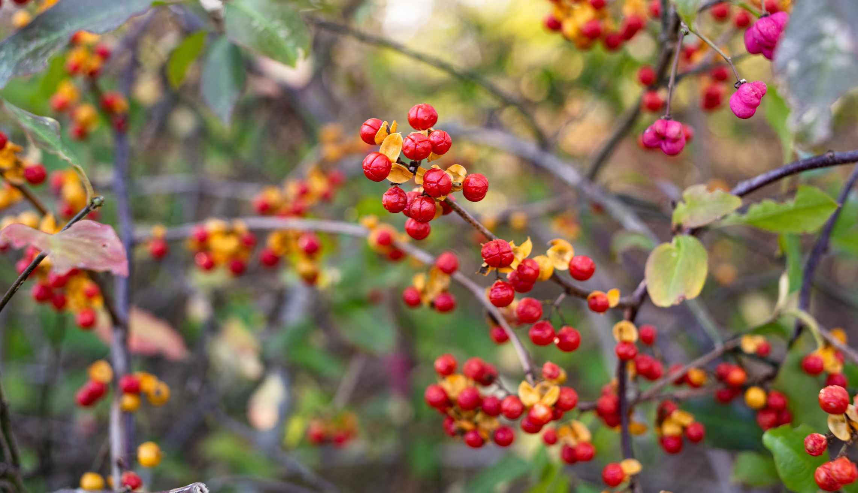 Oriental Bittersweet Berries