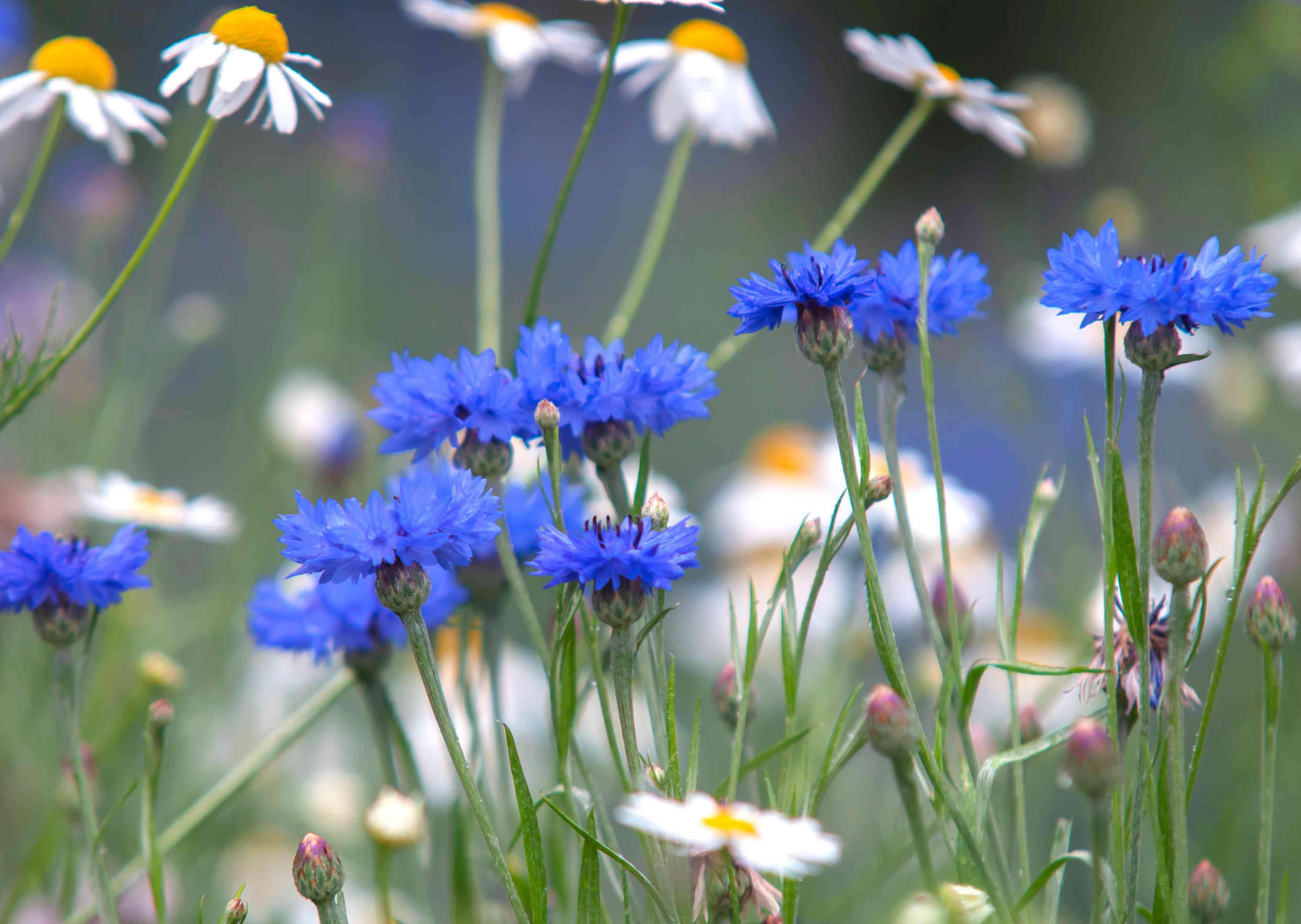 Blue cornflowers next to white daisies in garden
