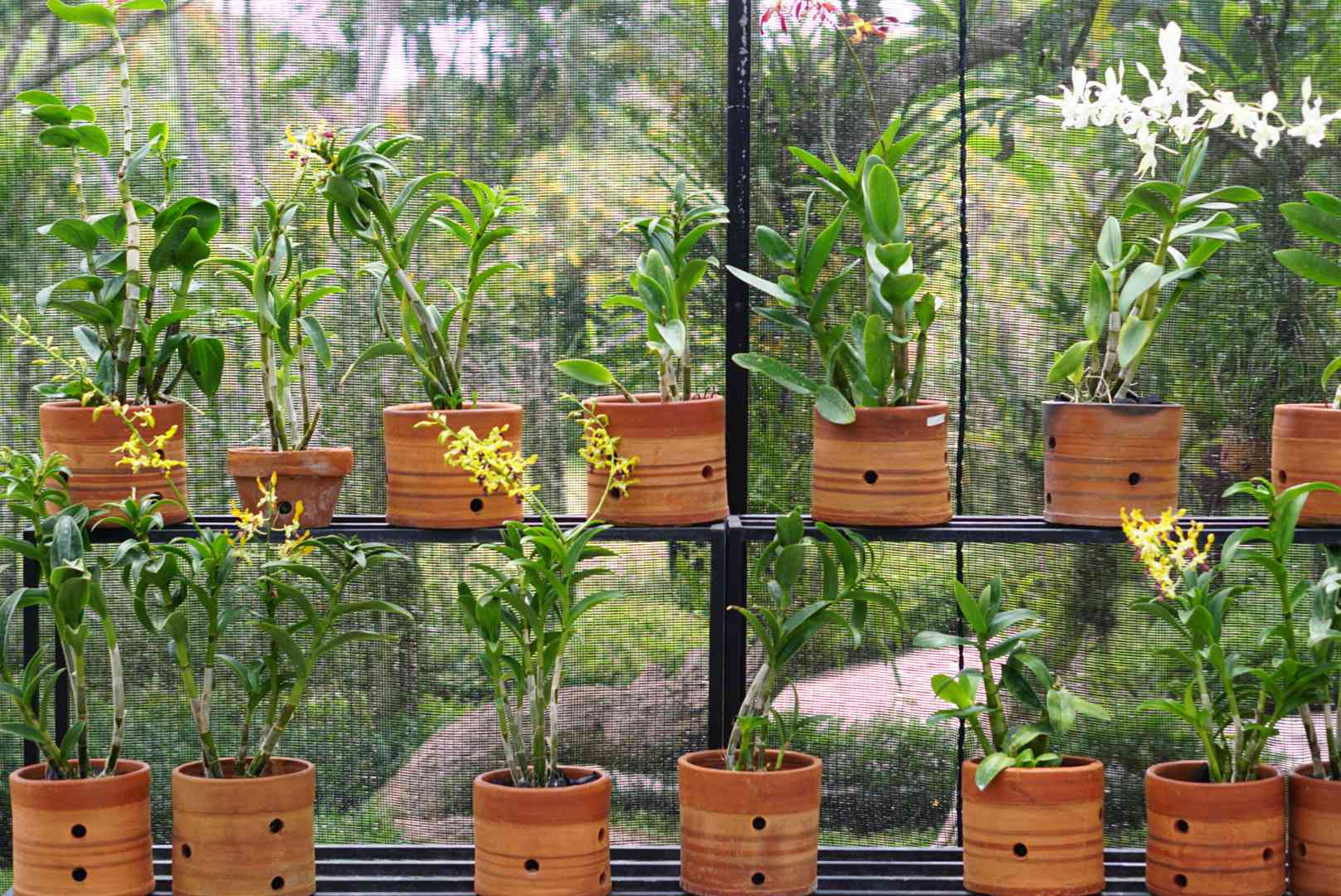 Orchids shelved outside in terracotta pots