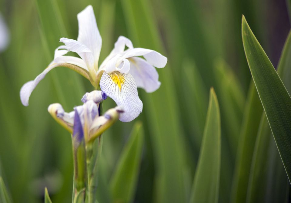 Louisiana iris with white, purple, and yellow coloring