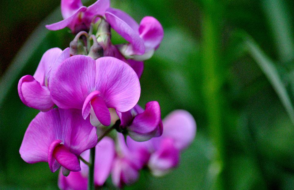 vibrantes flores de guisante rosa